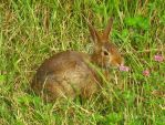 Cotton-Tail by WildernessNaturalist