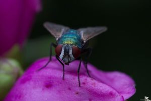 The Fly by Tribolonotus