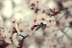 Almond blossom by guytz