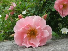 Pink Beauty by Loulou13