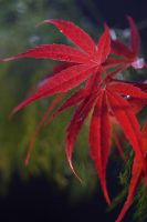 Backlit acer by AngiWallace