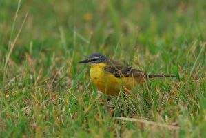 yellow wagtail by Ulliart