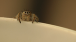 Jumping Spider by ExcellentAdventures