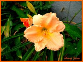 Orange Lily by PridesCrossing