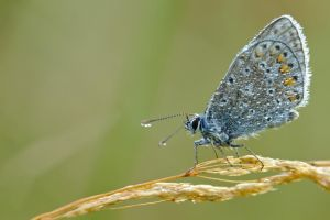 Common blue / 2 by andabata