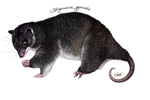Strigocuscus gymnotis by Nachiii