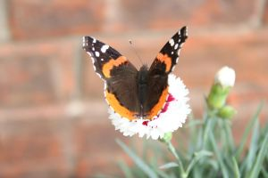 Red Admiral Butterfly by Lynxwing