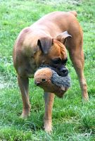 boxer mona loves her toy by schnuffibossi1