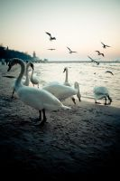 Swans and seagulls by gpatryk