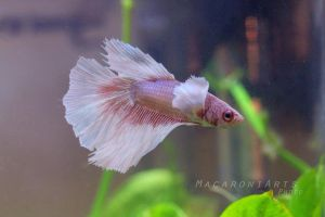 Silas - the elephant eared super delta betta by thebreat