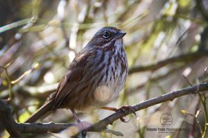Song Sparrow by sweetcivic
