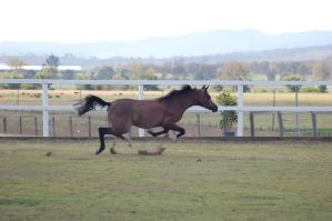 GE Arab rosegrey tripping in canter by Chunga-Stock