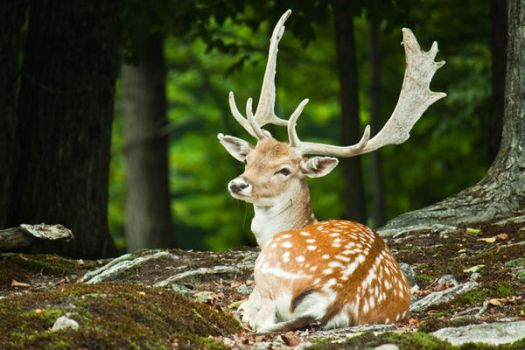 Great Prince of the Forest by Karelliann