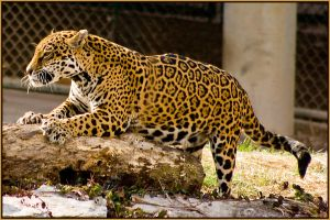 jaguar23 by redbeard31