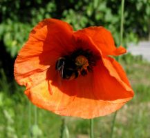 Red Passion Of Bumble Bee by Baltagalvis