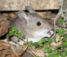 Wood mouse with Woodlouse by PixelMecha