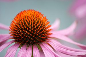 Echinacea Flower by bogorya