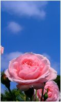 Rose by AndyBuck