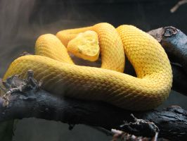 Venomous Yellow by thisfleshavenged