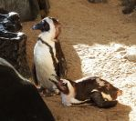 Penguins on Maui 1 by wildplaces