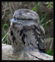 Tawny Frog Mouth by hedgehogpie
