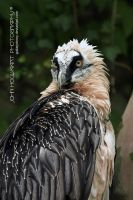 Bearded Vulture by guitarjohnny