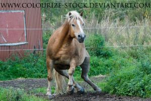 Haflinger Stock 2 by Colourize-Stock