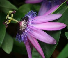 wonderful passionflower 2 by ingeline-art