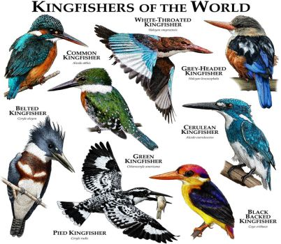 Kingfishers of the World by rogerdhall