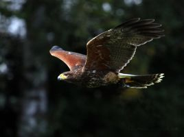 Harris Hawk by Kittyoholic