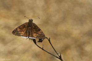 Mournful duskywing by JS2010
