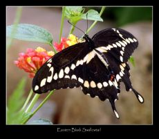 Eastern Black Swallowtail by WindCrest
