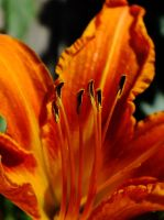 Day Lily by DecThePixter