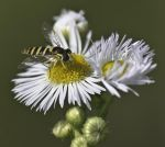 Hoverfly on a flower by An-Drake