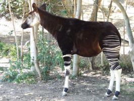 Okapi - full by dtf-stock