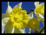 MM: Daffodils 2 by PopClicK
