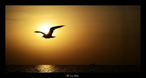 Seagull silhouette. by MomenSaleh