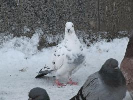 Snow pigeon by BioGear