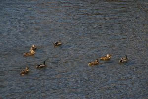 Ducks on the River 4 by uglygosling