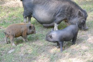 These Little Piggies, Mommy and Babies 2 by Miss-Tbones