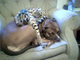 African Serval Cub Asleep On Top Of Pitbull by Jenn-Coney1976