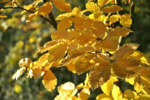 Golden Leaves by sudd