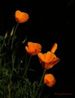 Poppies darkly glowing by kayaksailor