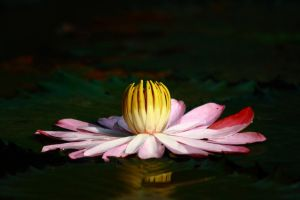 water lily by fantanicity