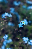 forget me not by Blanchii