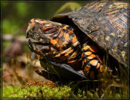 Eastern Box Turtle 40D0039263 by Cristian-M