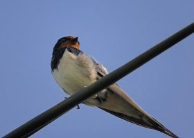 Swallow by noelholland