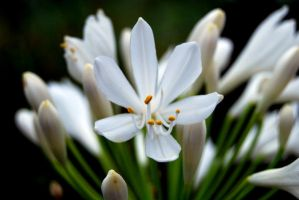 White Agapanthus by ladyeowyn1