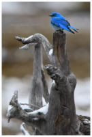 Mountain Bluebird by Nate-Zeman