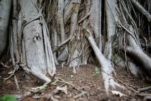 Buttress Roots #9 by AmoretteRose